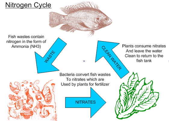 Aquaponics nitrogen cycle suburban aquaponics the nitrogen cycle is the most significant process within aquaponics as it is responsible for the conversion of fish waste into nutrients for the plants ccuart Gallery